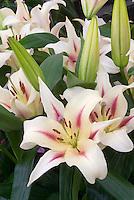 Lilium 'Nymph' (OT) oriental trumpet lily hybrid