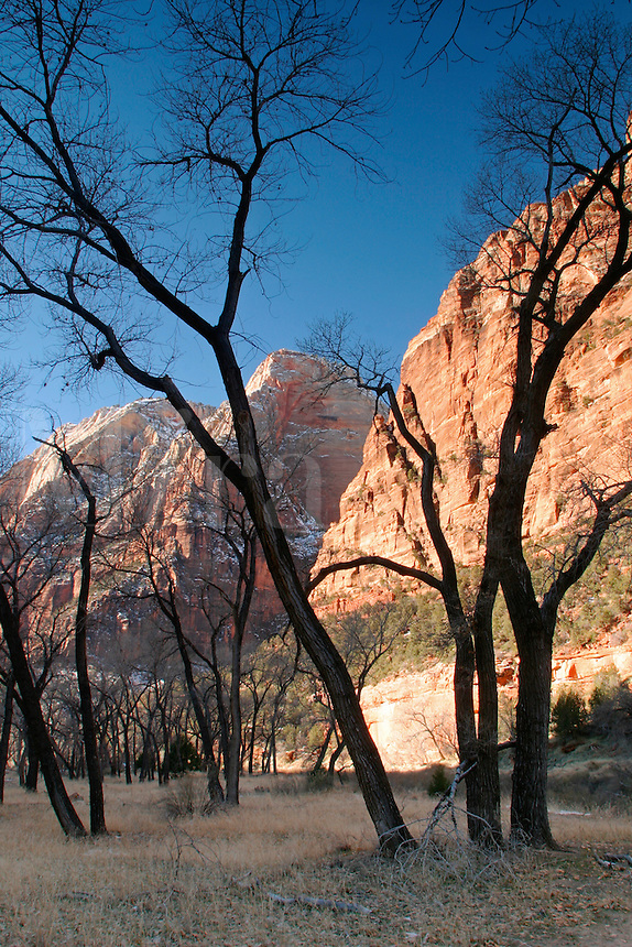 Canyon walls rising above cottonwood trees, Zion National Park, Washington County, U