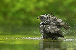 Hawk walks into river, has a wash, walks back out again (soaked) by Marta Demarteau