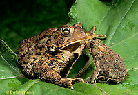 FR11-090z  American Toad -  young and adult toads - Anaxyrus americanus, formerly Bufo americanus