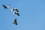 Damon, Texas; four sandhill cranes flying  in formation against a blue sky in early morning sunlight