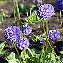 Purple primula denticulata, mid April.