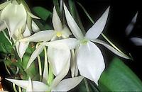 Angraecum leonis Orchid species
