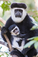 Black and White Colobus Monkey and her baby near Awassa in Ethiopia