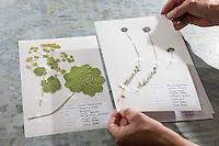 Fertige Herbarbogen, Herbarbögen werden zur Ansicht vorsichtig angehoben, nicht geblättert. Botanik, Botanisieren, botany, Herbar, herbaria, Herbarien, herbarisieren, herbier, Pflanzenbestimmung, Pflanzenherbar