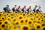The peloton including Green Jersey Peter Sagan (SVK) Bora-Hansgrohe race by the sunflower fields during Stage 11 of the 2019 Tour de France running 167km from Albi to Toulouse, France. 17th July 2019.<br /> Picture: ASO/Pauline Ballet   Cyclefile<br /> All photos usage must carry mandatory copyright credit (© Cyclefile   ASO/Pauline Ballet)