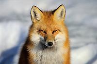 Red fox (Vulpes vulpes), winter.