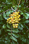 12388-CD Carrot Wood, Cupaniopsis anacardioides, Australian tree, branches, seed pods, at Seal Beach, CA USA