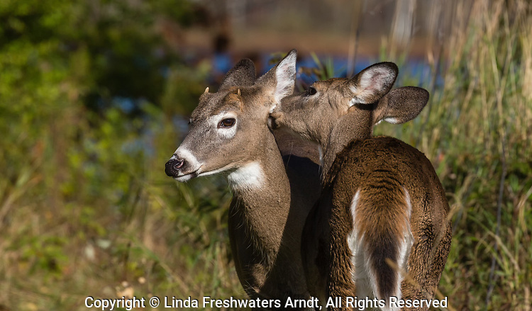 White-tailed doe grooming a spike buck in autumn.