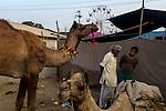 Camels and its owners converses at Pushkar fair ground. Rajasthan, India.