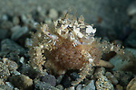 Mosaic Boxer Crab laiden with eggs, Lybia tesselata, Lybia sp. Undescribed,Ambon