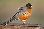 American robin, Yellowstone National Park, Wyoming