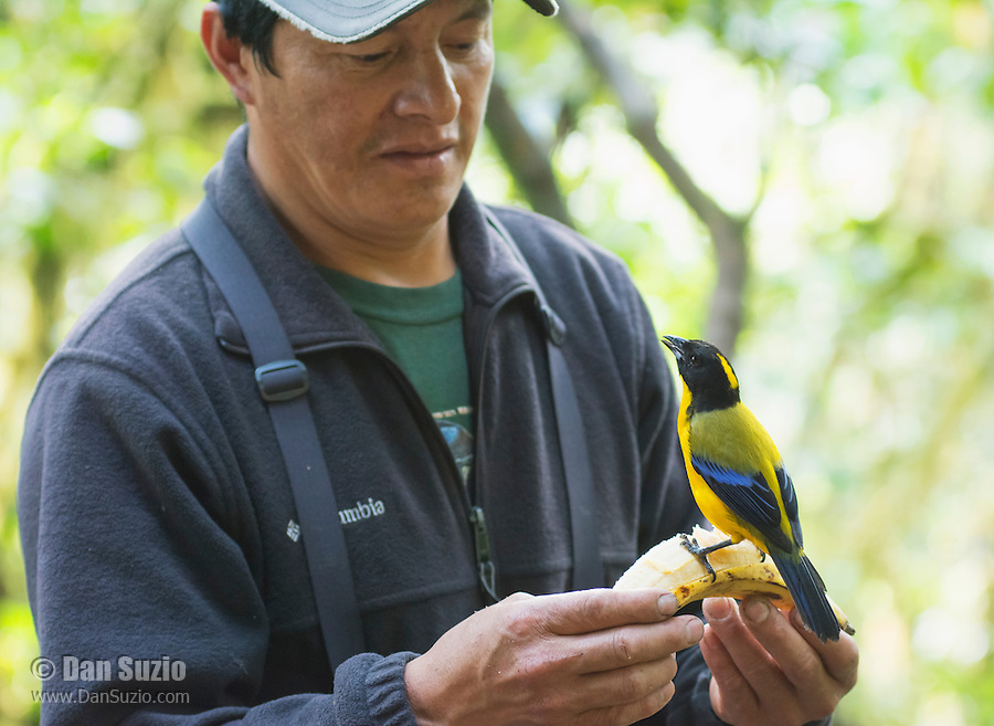 Black-chinned mountain tanager, Anisognathus notabilis, perched on a banana held by bird guide Angel Paz. Refugio Paz de las Aves, Ecuador