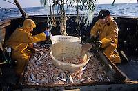"""Europe/France/Bretagne/29/Finistère/Le Guilvinec : Pêche à la langoustine sur le """"Gwenvidik"""" [Autorisation : 215-216-217]"""