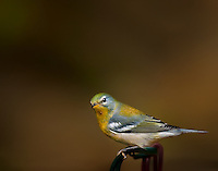 Northern Parula perched on a wire perch
