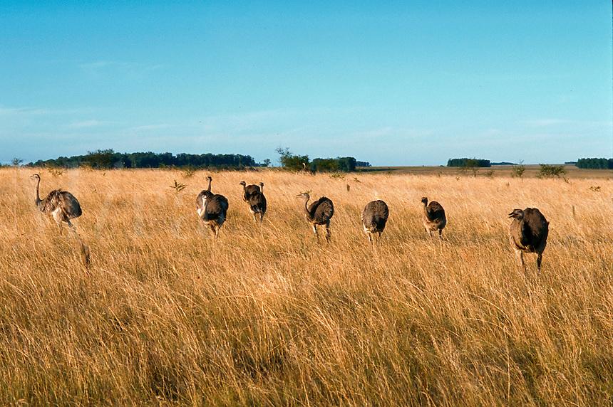 Horizontal image of a herd of wild native rhea (rhea americana) birds roaming and feeding in tall grass - Termas De Arapey,Uruguay.