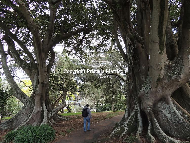 Auckland, New Zealand - September 18, 2012:  A man walks between two Moreton Bay Fig trees in Albert Park.
