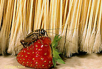 OR10-012a  Cricket -female  house cricket  - Acheta domestica