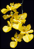 Zelenkocidium aka Oncidium Kukoo, orchid hybrid of Zelenkoa onusta x Oncidium cheirophorum<br /> Kugust 1963