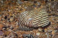 striped pyjama squid, Sepioloidea lineolata, an endemic species of bobtail squids, Edithburg, South Australia