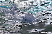 1029-1002  Common Bottlenose Dolphin, Tursiops truncatus  © David Kuhn/Dwight Kuhn Photography