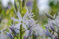 Camassia 'Silver Blue'