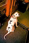 A dalmation sits patiently in the doorway as he waits for his master.