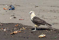 Yellow-headed caracaras are often seen scavenging on the beach.