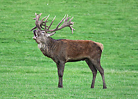 Manchurian Sika Deer at the start of the rutting season, in Woburn Deer Park,  Bedfordshire, England on October 16, 2020<br /> CAP/ROS<br /> ©ROS/Capital Pictures