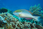 Redband Parrotfish, Cozumel, Mexico 2015