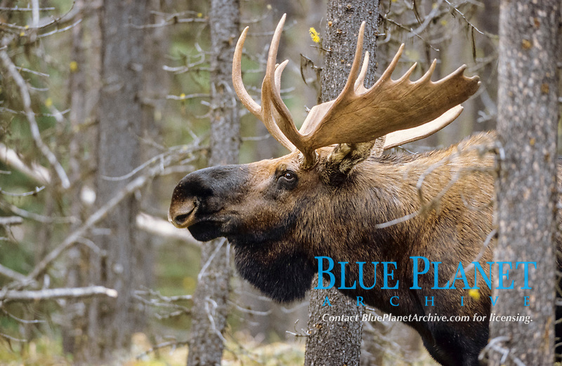 Moose (Alces alces) portrait of bull, close-up of bull moose.