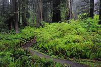 Sword ferns, vine maples and coast redwoods<br />   along Prairie Creek Trail<br /> Prairie Creek Redwoods State Park<br /> Humboldt County,  California