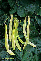 HS30-108x  Bean - pole bean - Grand Bianco variety