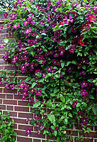 Clematis viticella 'Etoile Violette' climbing a brick wall
