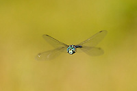 Canada Darner (Aeshna canadensis) Dragonfly in-flight, Ward Pound Ridge Reservation, Cross River, Westchester County, New York