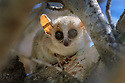Adult grey-brown mouse lemur (Microcebus griseorufus). Ifaty spint forest, south western Madagascar.