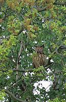 Uhu, Bubo bubo, eagle owl