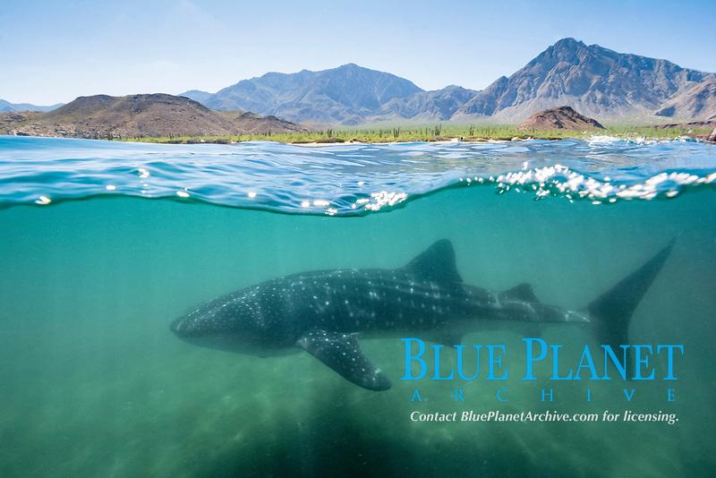 whale shark, Rhincodon typus, Bahia de los Angeles, Sea of Cortez, Gulf of California, Mexico, Pacific Ocean