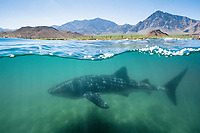 whale shark, Rhincodon typus, Bahia de los Angeles, Sea of Cortez, Gulf of California, Mexico, Pacific Ocean