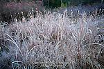 Frost on Broadleaf Cattail, Pocono Mountains, Pennsylvania
