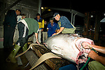 Tuna fisherman clean a 586 pound Giant Blue Fin Tuna. The tuna fishing season in Prince Edward Island, Canada, lasts for a few days a year. The season was open for 3 days in the autumn of 2007. During this time nearly150 tons of tuna were caught. None of the tuna is sold in Canada, it is shipped directly to Japan.