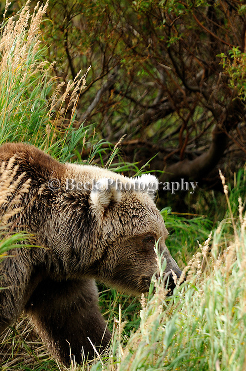 A close up of a grizzly bear, Ursus arctos horribilis, as he walks through the tall grass on the bank of the river.
