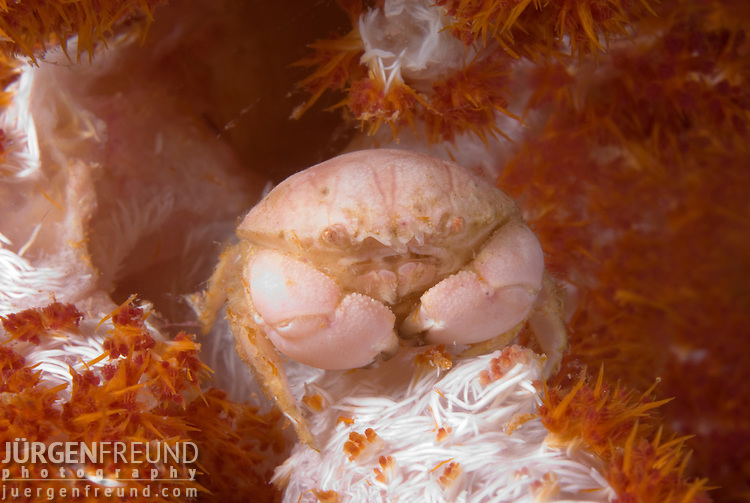 A round crab living inside a soft dendronephthya coral