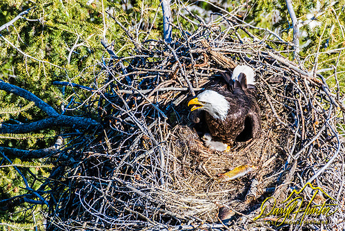Bald eagle, eaglet, Greater Yellowstone