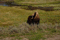 A bison grazes in Hayden Valley in Yellowstone National Park, Wyoming on Tuesday, May 23, 2017. (Photo by James Brosher)