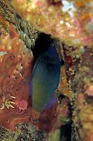 Redtail filefish, Pervagor melanocephalus, Futo, Sagami bay, Izu peninsula, Shizuoka, Japan, Pacific Ocean