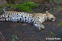0309-1103  Amur Leopard Sleeping, Panthera pardus orientalis  © David Kuhn/Dwight Kuhn Photography