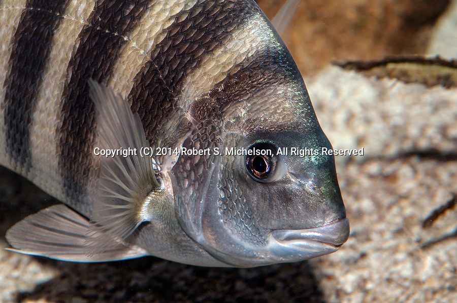 Sheepshead swimming right close-up