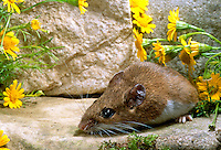 White footed mouse on rock with yellow flowers, Missouri USA