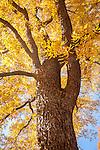 Pecan tree in the Arnold Arboretum, Boston, MA